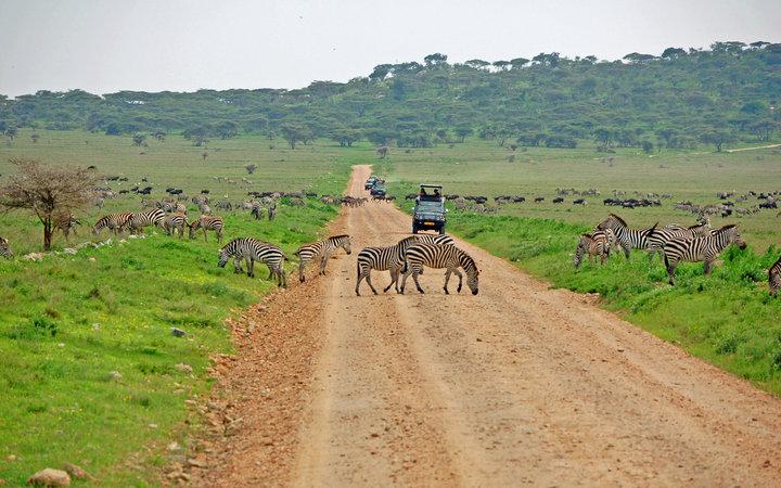 SAFARI Lion - Zebra